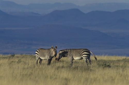 Mountain Zebra , on Plains , Mountain Zebra National P