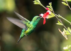 IMG_5268 Western Emerald (suebmtl) Tags: hummingbird western emerald chlorostilbonmelanorhynchus ecuador puembobirdinggarden pichinchaprovince green westernemerald
