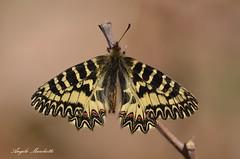 ... Zerynthia cassandra (Plebejus argus) Tags: zerynthiacassandra papilionidi farfalle montilepini lazio macro