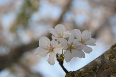 Cherry Blossom (KcRen) Tags: cherry blossom tree beauty nature gentil soft spring peaceful calming
