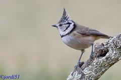 Northern Crested Tit. (jordi51) Tags: northerncrestedtit lophophanescristatus mallerengaemplomellada herrerillocapuchino aves birds jordi51 nature naturaleza