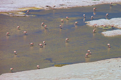 Flamingoes. (david takes photos) Tags: losflamencosnationalreserve reservanacionallosflamencos salardepujsa atacama chile flamingo flamingoes sanpedrodeatacama regiã³ndeantofagasta x