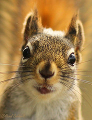 Trouble (hazelcaldwell) Tags: animal squirrel portrait trouble closeup wildlife nature