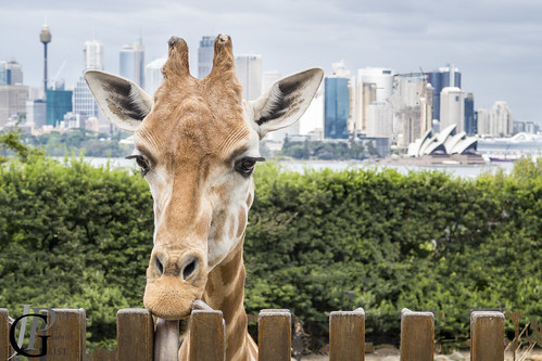 Giraffe with a view!
