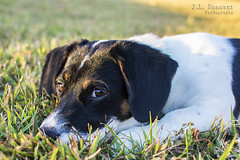 Outside Puppy Dog - Hope (J.L. Ramsaur Photography) Tags: jlrphotography nikond7200 nikon d7200 photography photo cookevilletn middletennessee putnamcounty tennessee 2016 engineerswithcameras cumberlandplateau photographyforgod thesouth southernphotography screamofthephotographer ibeauty jlramsaurphotography photograph pic cookevegas cookeville tennesseephotographer cookevilletennessee hope dog puppydog puppy beagle beaglepuppy outsidepuppy grass cute cutepuppy nature outdoors macro macrophotography closeupphotography closeup dof depthoffield bokeh portrait portraiture familyportrait portraitphotography rural ruralamerica ruraltennessee ruralview outsidepuppydog beagledog