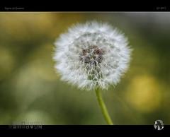 Blow! (tomraven) Tags: seeds dandelion light nature delicate tom raven aravenimage q12017 sigma sdquattro head blow flowermacro bokeh