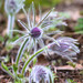 greater pasque flower