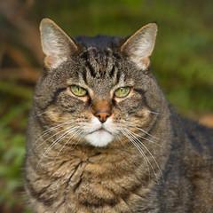 Chubby (mariannedeselle) Tags: cat tabby chubby tabbycat kitty feline