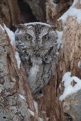 No shit Sherlock, I know it's snowing... (Earl Reinink) Tags: raptor nature bird animal winter snow storm earlreinink earl reinink nikon niagara ontario screech owl easterscreechowl drhdhatdia