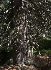 05-IMG_8410 (hemingwayfoto) Tags: österreich austria baum europa fichte hohetauern nationalpark natur naturschutzgebiet rauris rauriserurwald reise tannenbaum urwald wald