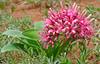 Karoo Lily (Ammocharis coranica) (berniedup) Tags: karoolily ammochariscoranica plant flower amaryllidaceae taxonomy:binomial=ammochariscoranica lowersabie kruger