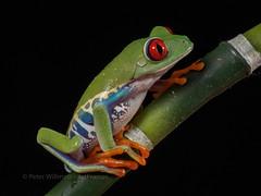 Red-Eyed Tree Frog - Agalychnis callidryas (ArtFrames) Tags: redeyed tree frog agalychnis callidryas httpwwwphotographersonsafaricom uk nature workshop