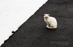 Cat on roadway (Jonathan Paventa) Tags: yinyang chat cat shot photo canon eos 700d jonathan paventa autumn winter mountain megève alpes alps