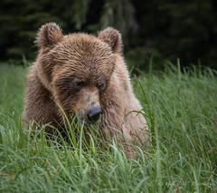 Grizzly Bear - Female (Turk Images) Tags: britishcolumbia coastalrainforest greatrainforest grizzlybear ktzimadeengrizzlybearsanctuary khutzeymateengrizzlybearreserve maritimecoast ursusarctoshorribilis breedingseason bears mammals ursidae