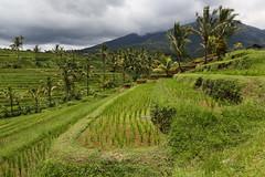 Jatiluweh (Bert#) Tags: indonesia bali jatiluweh rice terrace green nature trees paddy field travel