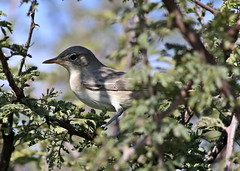 Olive-tree warbler, Hippolais olivetorum, at Zaagkuildrift Road near Kgomo Kgomo, Limpopo, South Africa