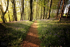 The Bluebell Path (Glenda Hall) Tags: bluebells portglenoneforestpark coantrim portglenone sunlight trees path spring walk gimp vignette glendahall canon canon60d northernireland landscape scenery wideanglelens 10mm forest may 2016