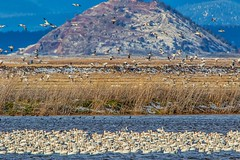 (Marc Crumpler (Ilikethenight)) Tags: landscape wildlife klamathnationalwildliferefuge lowerklamathnationalwildliferefuge california klamathfalls birds geese snowgeese flying mountains water lake canon canon7dmarkii 7dmarkii tamron150600mmf563