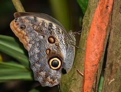 Giant owl butterfly (anacm.silva) Tags: giantowlbutterfly butterfly borboleta insect insecto wild wildlife nature natureza naturaleza sarapiqui selvaverdelodge costarica rainforest