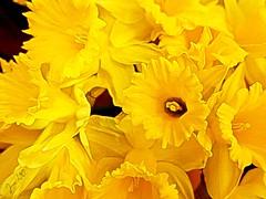 The scent of spring (Jan 130) Tags: spring printemps primavera daffodils digitalpainting lente frühling vår texture topaz yellow jan130 ngc npc