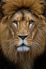 Lion - Portrait 2 (Panthera leo) (Jens Flachmann) Tags: animal lion pantheraleo portrait cat lolek mammal face germany dortmund