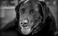Dog - 7542 (EB_Creation) Tags: dark nikon labrador dog bnw black monochrome 7dwf april amateur 2017 camera lens digital pet