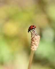 春の野原で(2) (myu-myu) Tags: nature plant equisetumarvense insect ladybug coccinellaseptempunctata springfield nikon d810 ツクシ 昆虫 テントウムシ japan