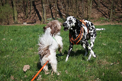 Angie und Timmi (blumenbiene) Tags: hund dog hunde dogs hündin female dalmatiner dalmatian schwarz weis black white bolonka zwetna russian tsvetnaya franzuskaya male gassi spaziergang spielen playing