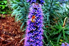 1.145 - Libación brutal!!! (esnalar) Tags: flor flora flores insectos jardines flower flowers insects garden primavera spring