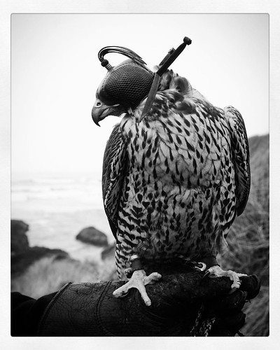 Gorgeous Gyr ❤️  #gyr #falcon #blackandwhite #nikonphotography #nikon #beach #falconry #falconer #birdofprey #bird #beach #sea #travel #photooftheday #raptor #sport #hunt #nature #ornithology