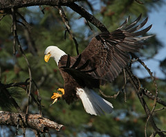 (ken.helal) Tags: eagles