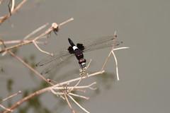Male Pseudothemis zonata/Pied Skimmer// (Liuzhou, Guangxi/) 5297 (Petr Novk ()) Tags: china animal insect asia dragonfly asie  guangxi liuzhou  odonata  hmyz      vka na
