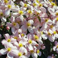 Fleurs de clmatite (B. Milanese) Tags: rolleiflex sl66 150mm
