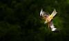 Swooping Red Kite (markrellison) Tags: wild birds animal animals wales wildlife british britishwildlife birdofprey lightroom f63 talons redkite milvusmilvus swooping britishbirds 600mm iso2000 lr4 13200sec canoneos5dmarkiii lightroom4 ef300mmf28lisusm2xiii