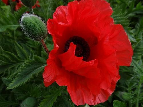 Red Oriental  Poppy.