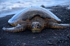 Green Sea Turtle, Hawaii (sonstroem) Tags: green beach blacksand hawaii turtle honu seaturtle cheloniamydas