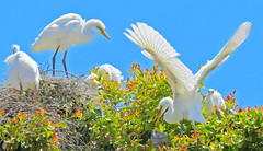 Wedge of Egrets Malibu parking lot trees_5869 (pekabo90401) Tags: malibu birdwatching rookery greatrgret birdsofsoutherncalifornia malibubirds birdwatchinglosangeles pekabo90401