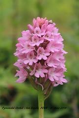 Pyramidal Orchid 008