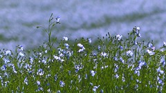 Blue mornings (Ker Kaya) Tags: flax blue morning blossom green kerkaya fz200 bokeh lin nature fdekerkaya ker kaya artist photography dmcfz200 kerkayaphotography