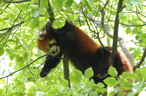 Shanghai Wild Animal Park - Red panda / 上海野生动物园 - 小熊猫
