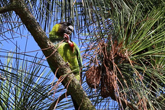 Nanday Parakeet (gregpage1465) Tags: bird nature point photography photo texas greg wildlife picture parrot smith page parakeet conure nanday blackhooded nandayconure nandayparakeet nandayusnenday gregpage blackhoodedparakeet