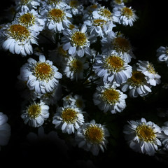 Mutterkraut (blasjaz) Tags: plant pflanze pflanzen lowkey asteraceae botanik tanacetumparthenium mutterkraut blasjaz
