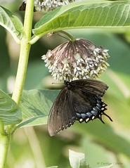 Battered and torn... (Carolyn Lehrke) Tags: usa nature wildlife wing butterflies insects wv torn battered greenbriercounty ronceverte