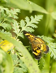 Silvery Checkerspot (Carolyn Lehrke) Tags: usa green nature weeds woods flora wildlife butterflies insects wv nikond3200 silverycheckerspot greenbriercounty ronceverte ilobsterit riverinewoods