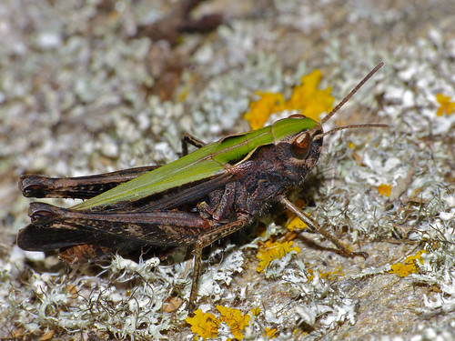 Woodland Grasshopper (Omocestus rufipes) female