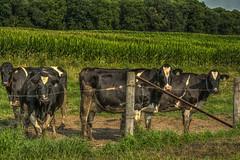 EatMorChikin (jmishefske) Tags: field wisconsin corn nikon cattle cows farm july eat chikin dairy mor 2014 muskego d7100
