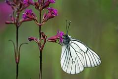 Black-veined White (Kari Siren) Tags: white butterfly blackveined