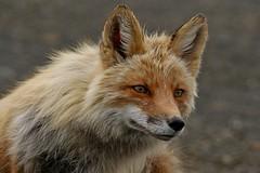 Rolf_Nagel-Fl-1494-Vulpes_vulpes (Insektenflug) Tags: camera red wild usa nature animal animals a