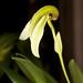 Bulbophyllum arfakianum var. alba – Nico Goosens