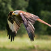 06 Swooping Red Kite_John Caton